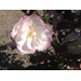 Leslie Ann camellia joins Louisiana Super Plants