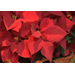 Poinsettias are unique plants and have a colorful history