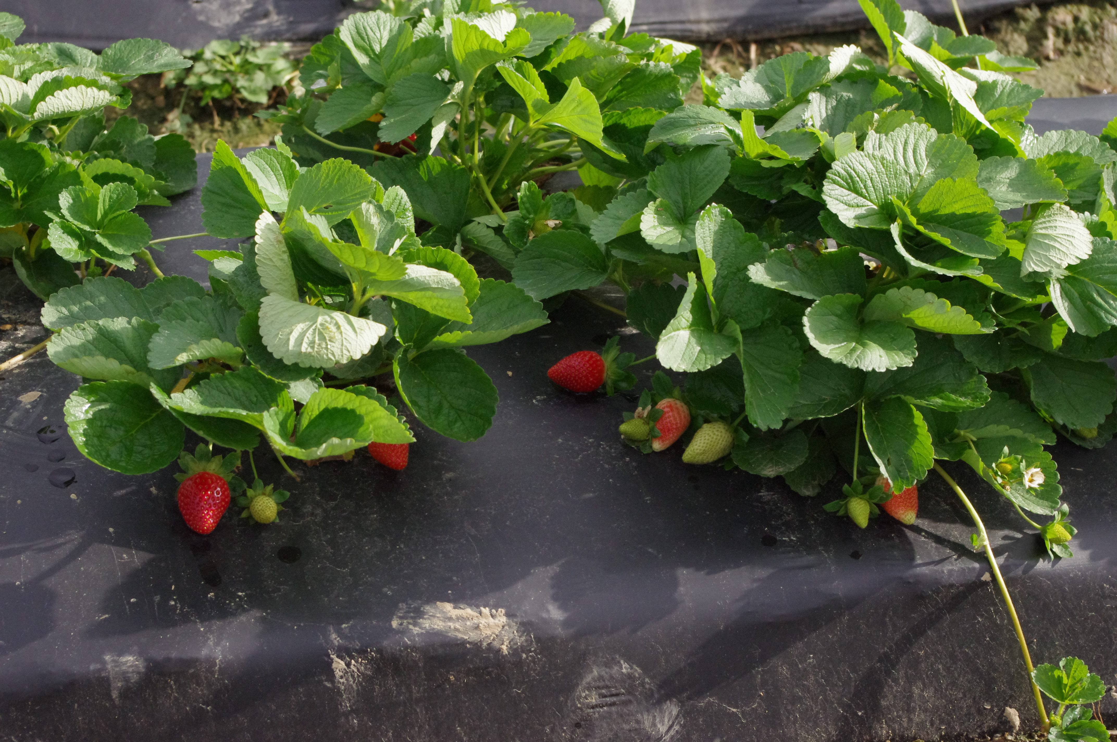 strawberry on plastic mulch.jpg thumbnail