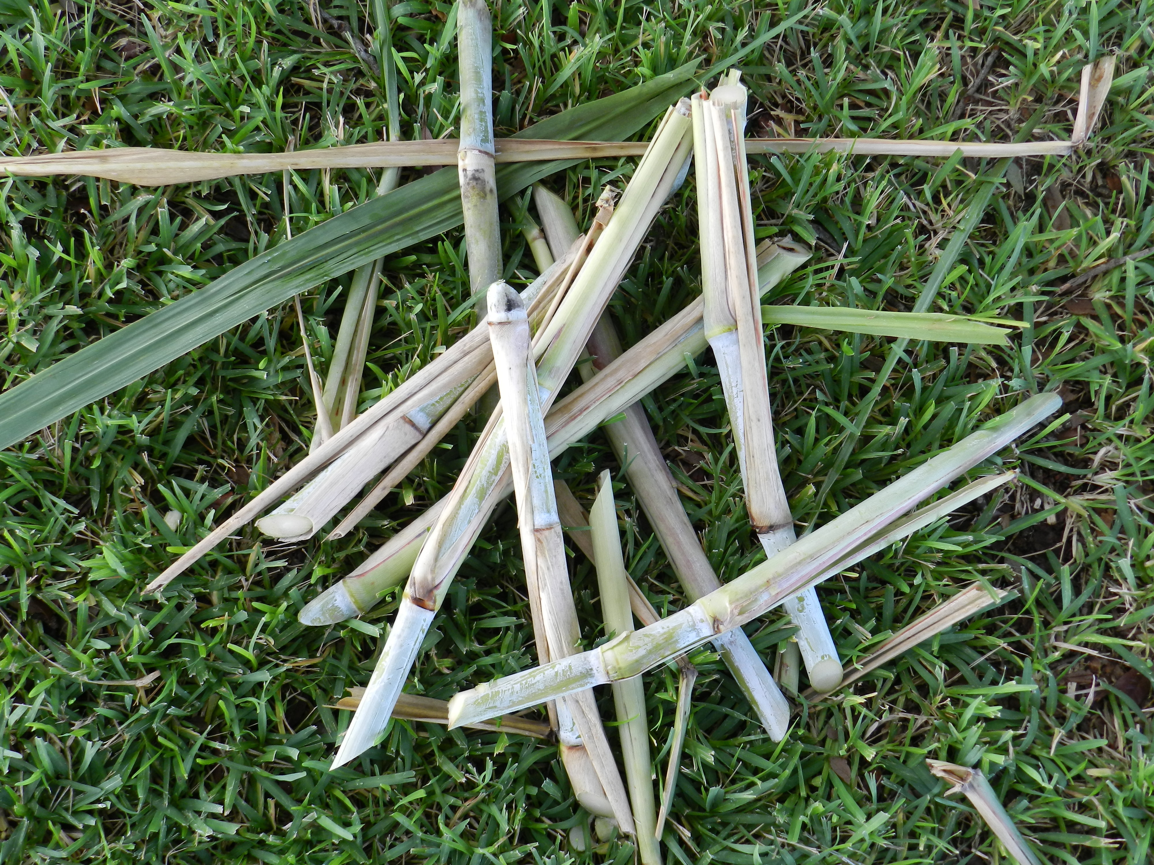 Billets are short pieces of the sugarcane stalk