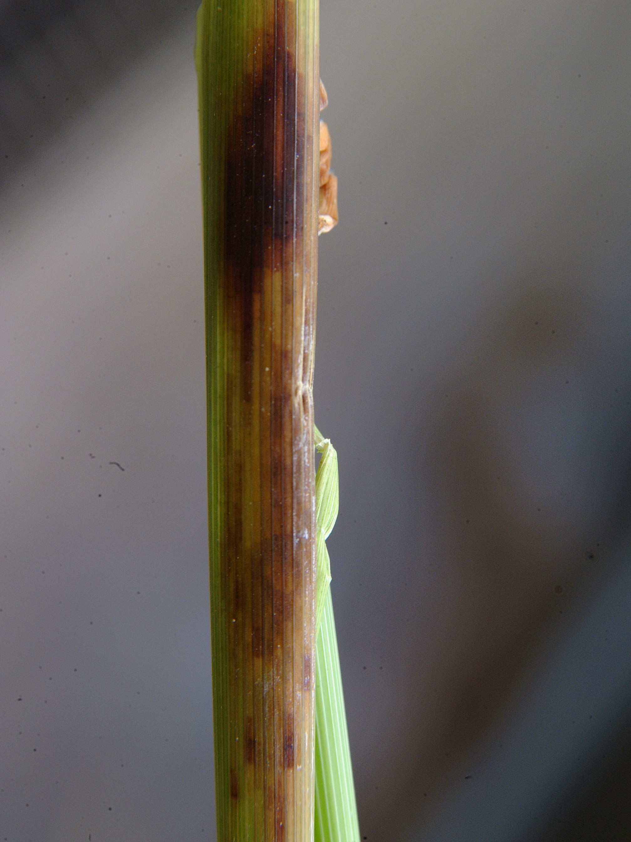 Mite Injury on Leaf Sheath 3