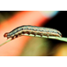 Monitor Fields for Fall Armyworms