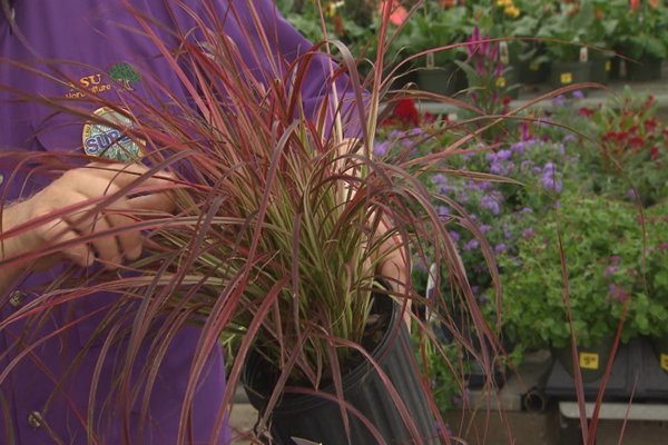 Fireworks Purple Fountain Grass Is A Care Free Super Plant