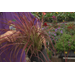Fireworks purple fountain grass is a care-free Super Plant