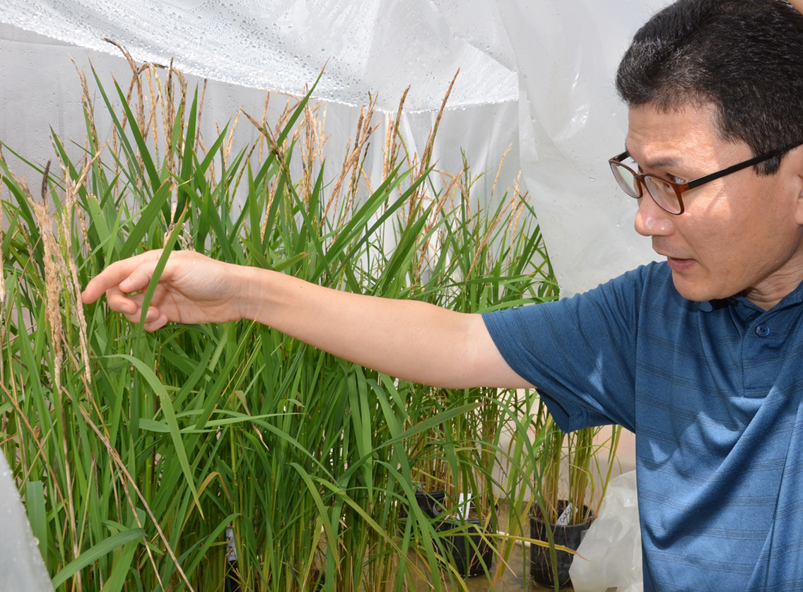 Ham searches for genes to suppress bacterial panicle blight