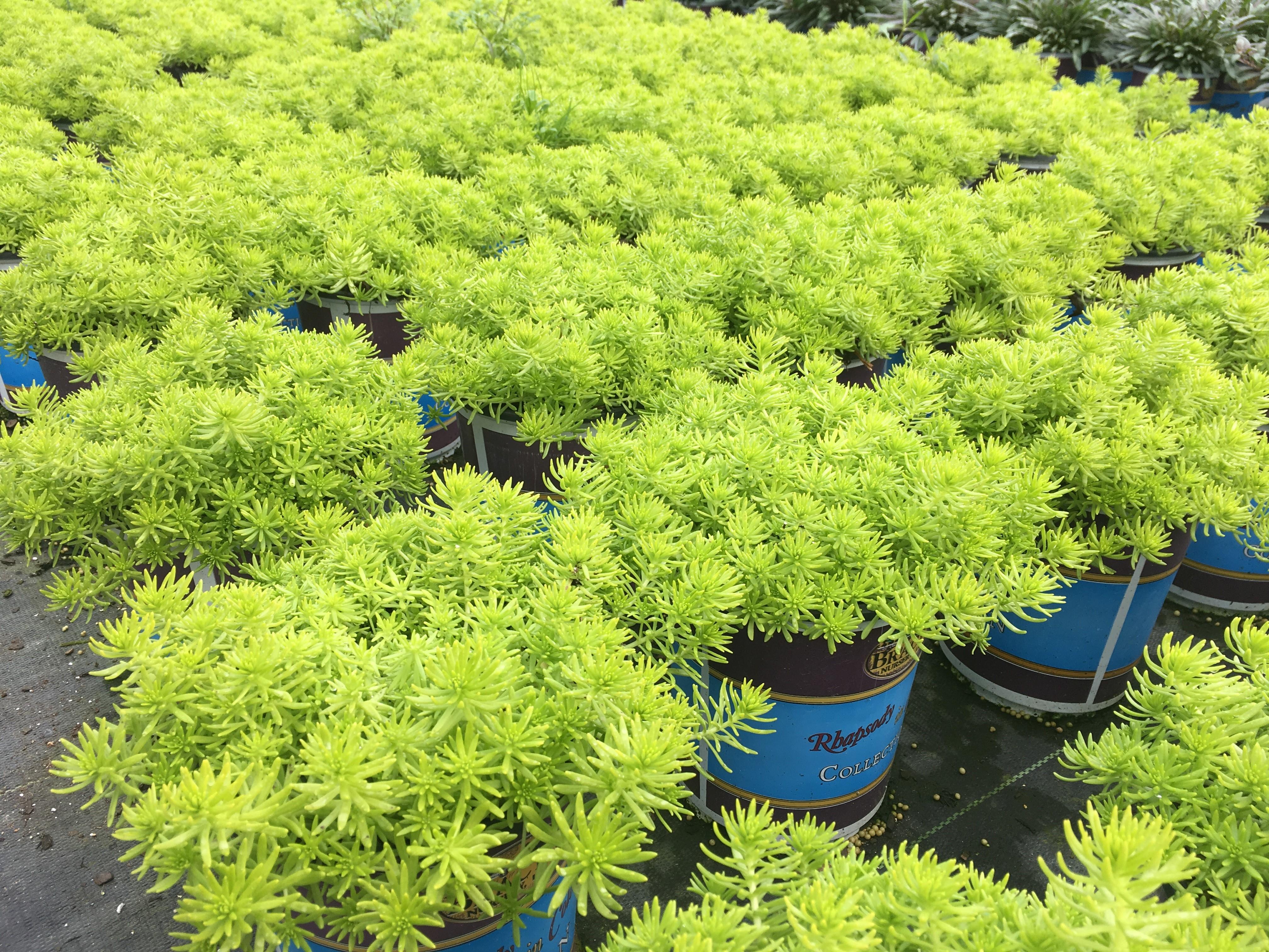 Lemon Sedum Named 2019 Louisiana Super Plant