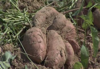 Weather conditions delay sweet potato harvest