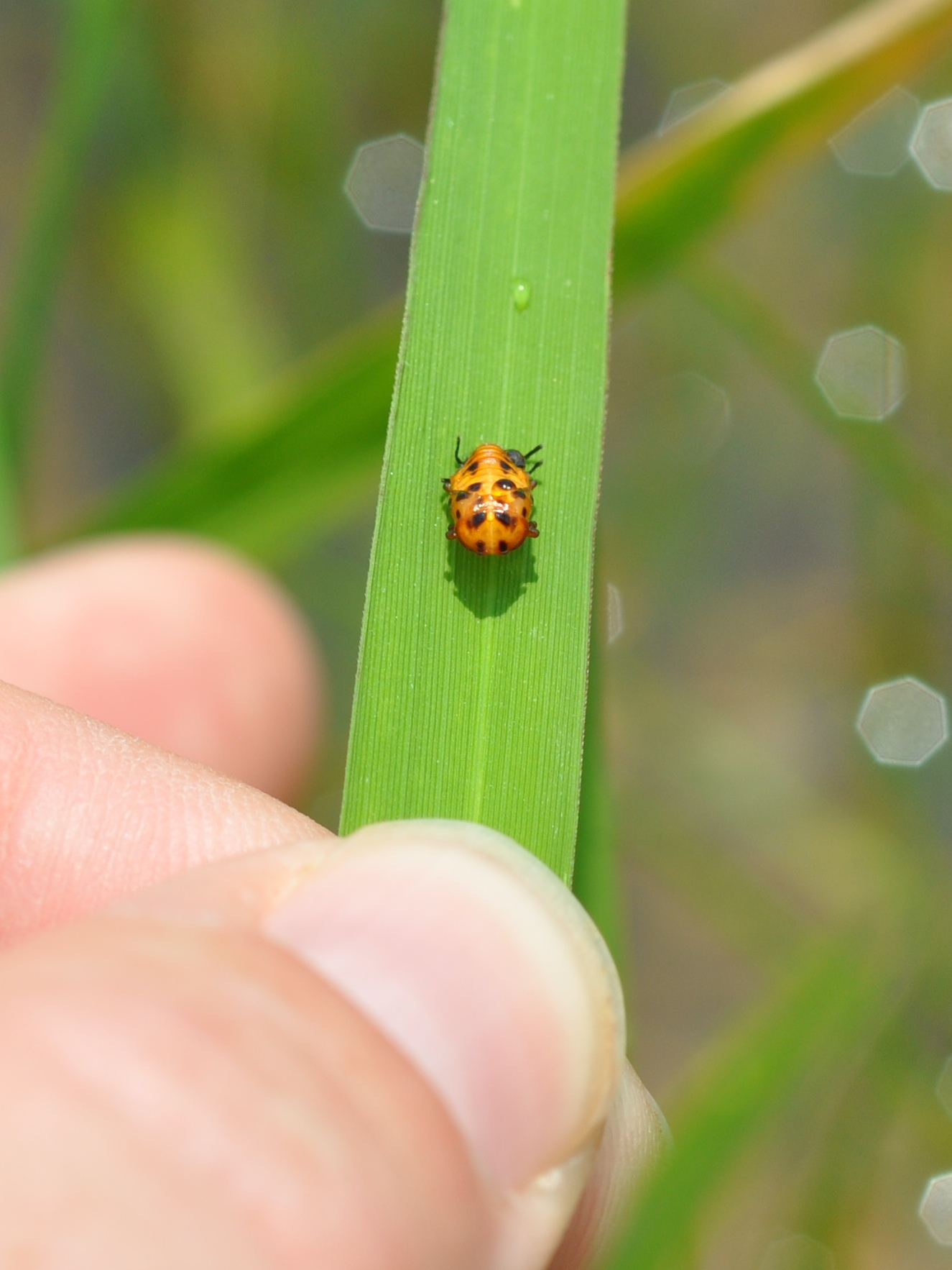 Although the pupal stage of lady bug is immobile, the adults and larvae are effective predators of a