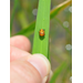 Lady Beetle Pupa 2