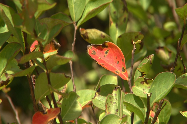 Cercospora on crape myrtles not a major problem