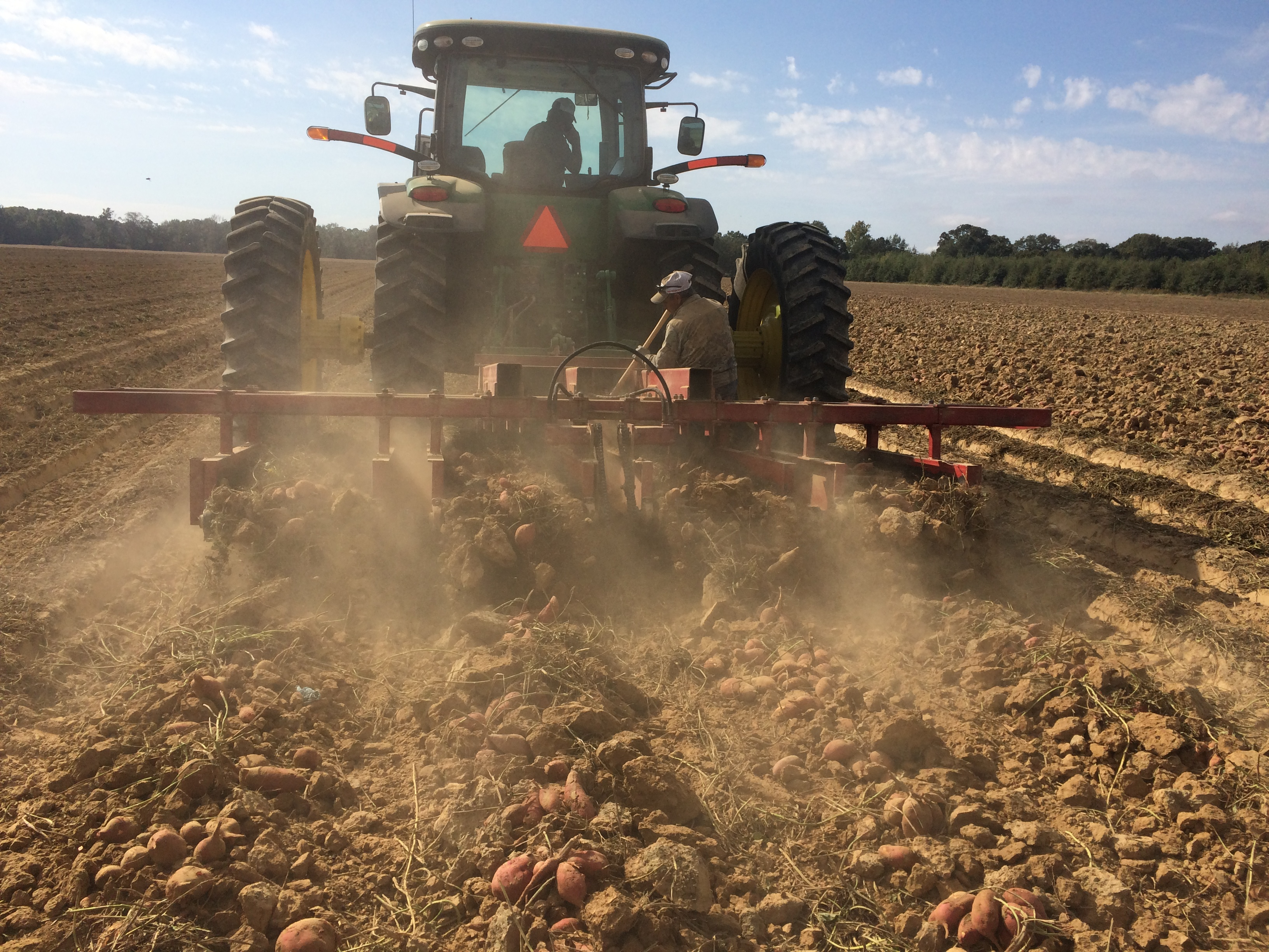 Sweet potato producers see weather-related losses