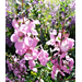 Angelonia – Ornamental Plant of the Week for April 13, 2015