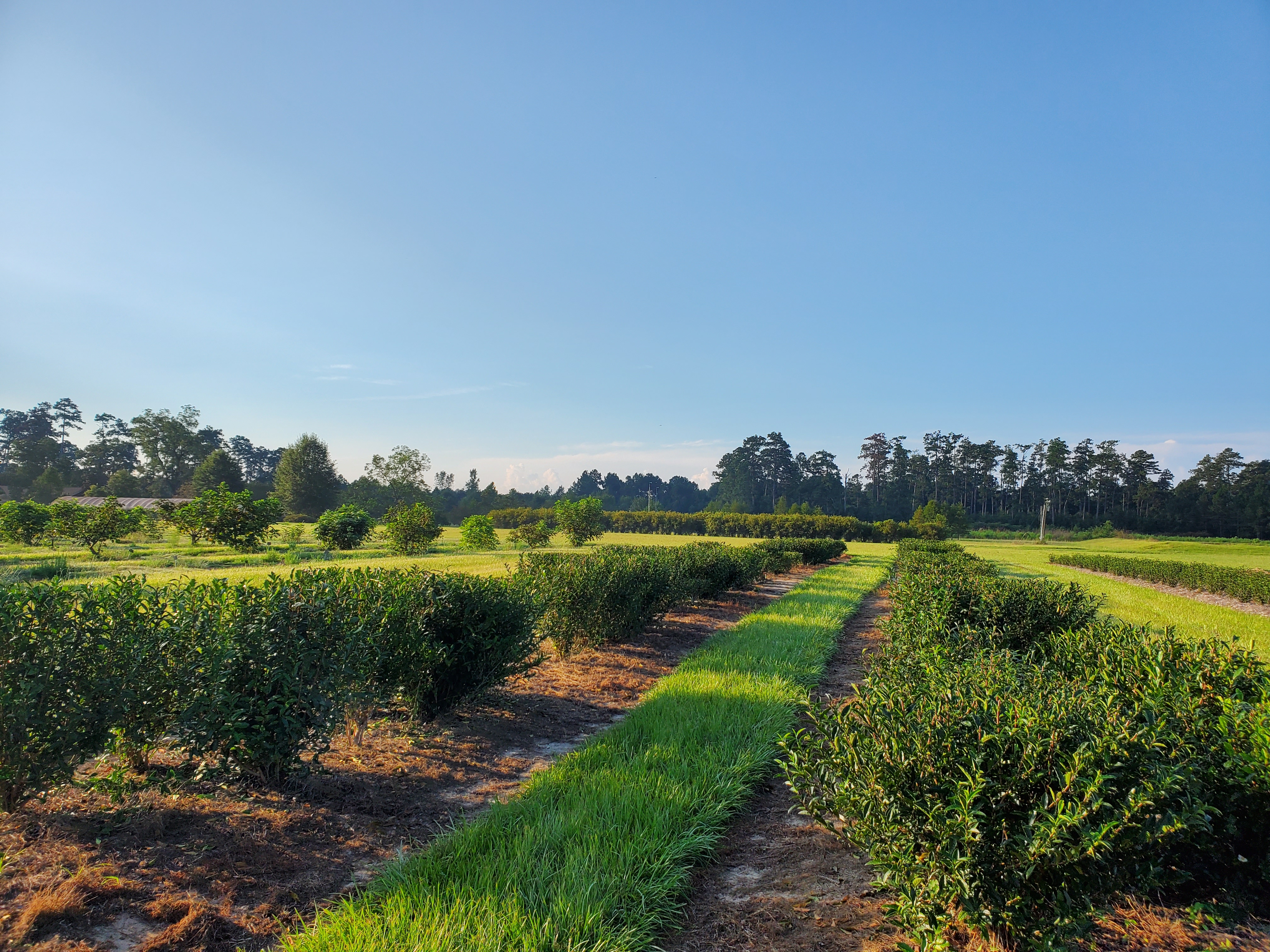 tea bushes grown to form a table.jpg thumbnail