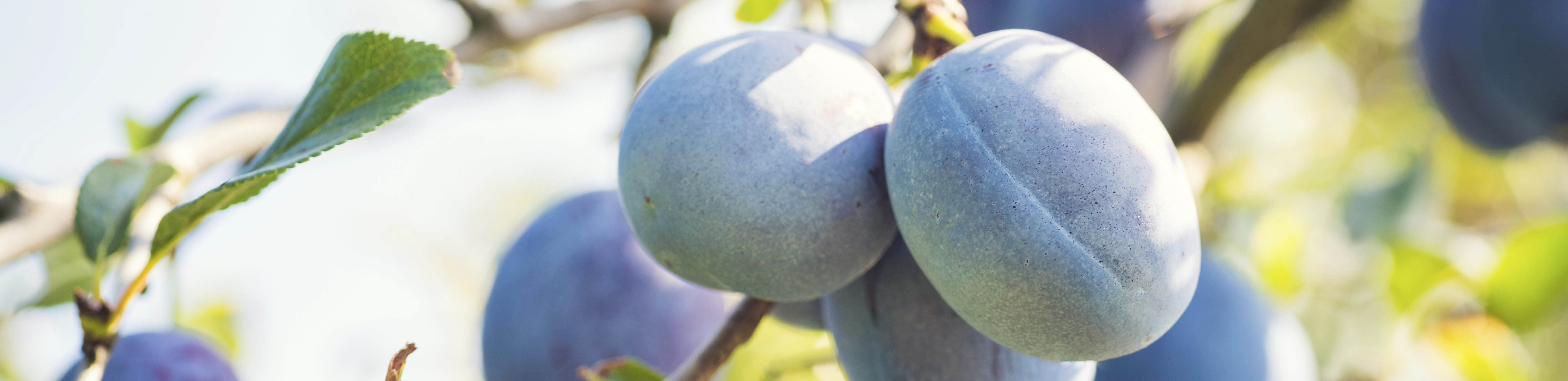 Summer Fruits: Plums