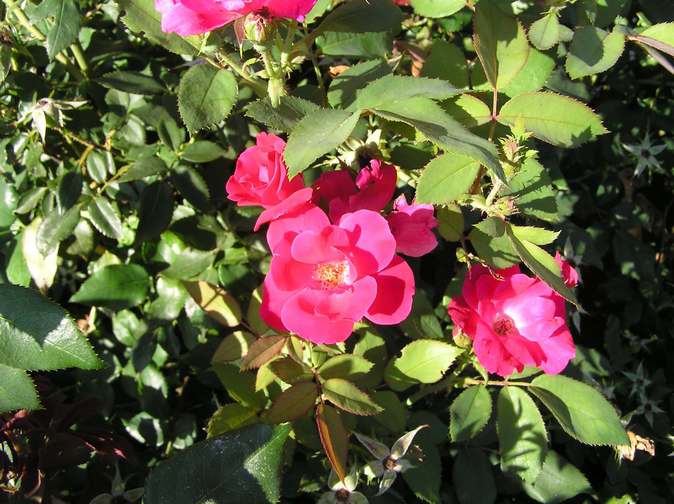 Knockout rose in bloomJPG