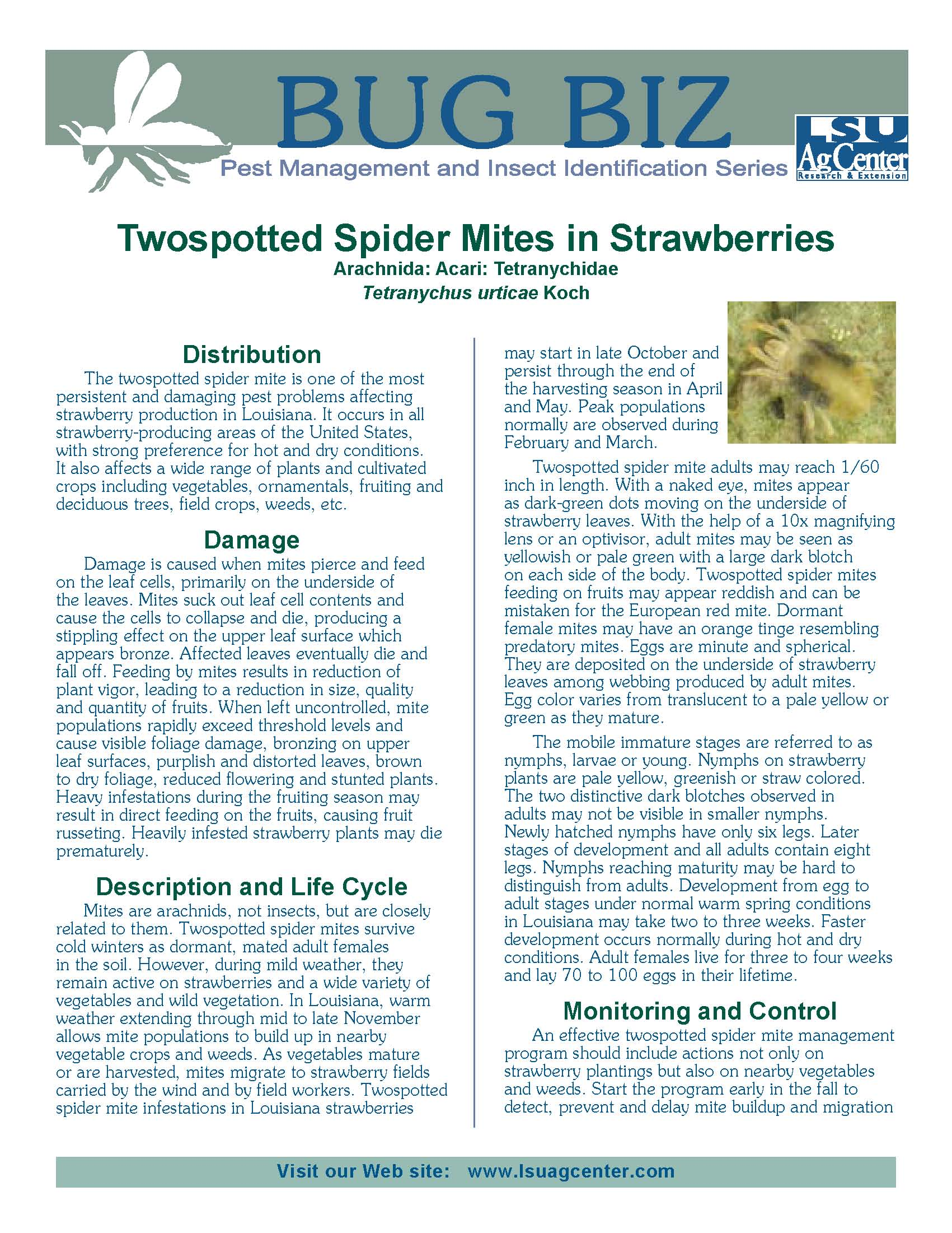 Bug Biz:  Twospotted Spider Mites in Strawberries