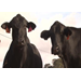 Louisiana cattle producers face challenges