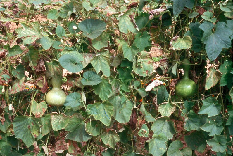 Harvesting and Curing Hard-shell Gourds