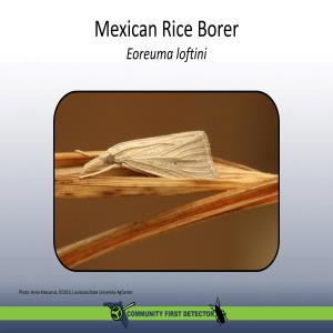 Mexican Rice Borer Identification Card