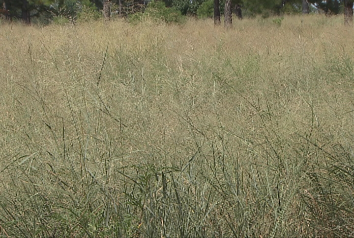 Forester looks at switchgrass as energy source