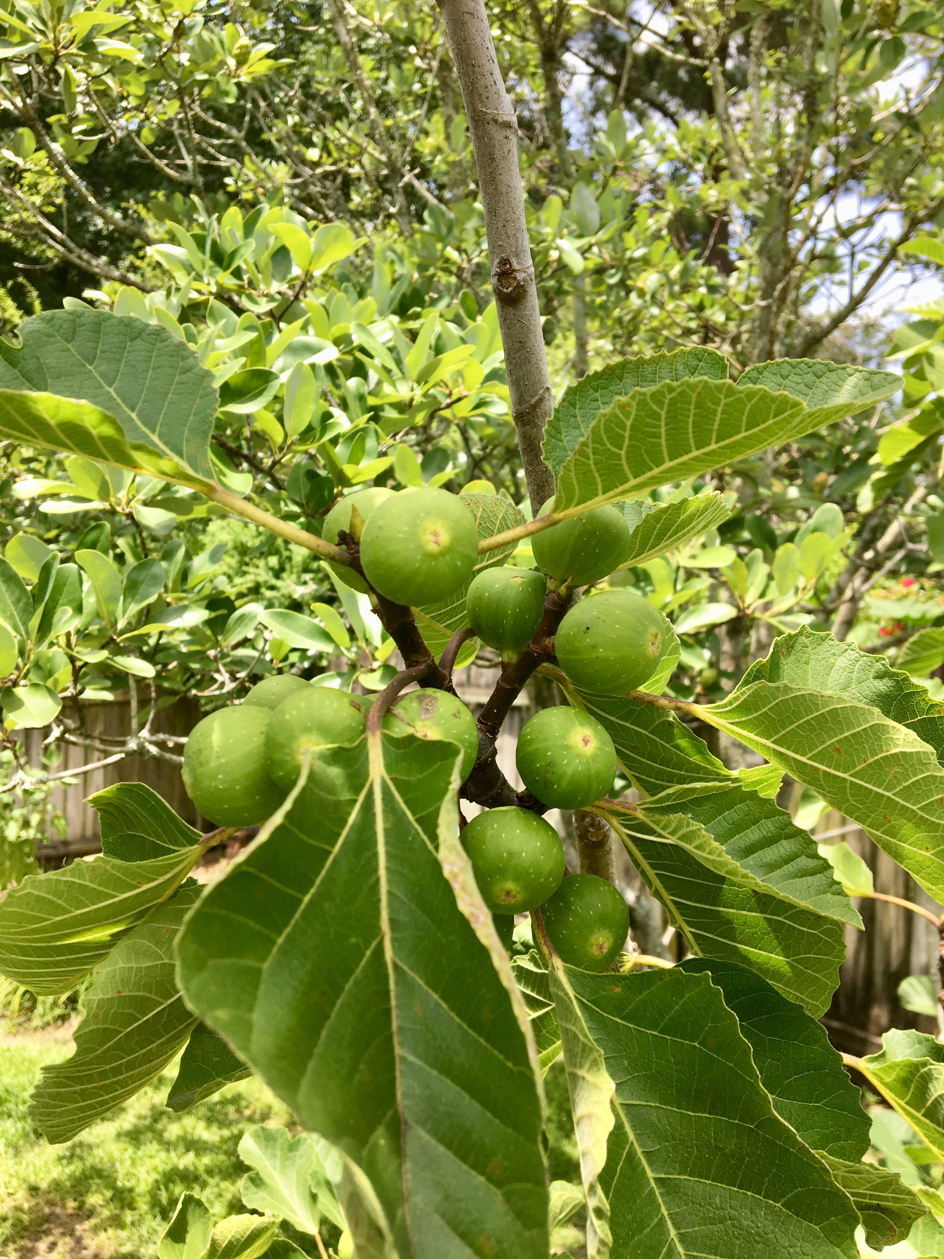 Figs are ready to ripen in July.jpg thumbnail