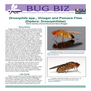 Drosophila spp., Vinegar and Pomace Flies (Diptera: Drosophilidae)