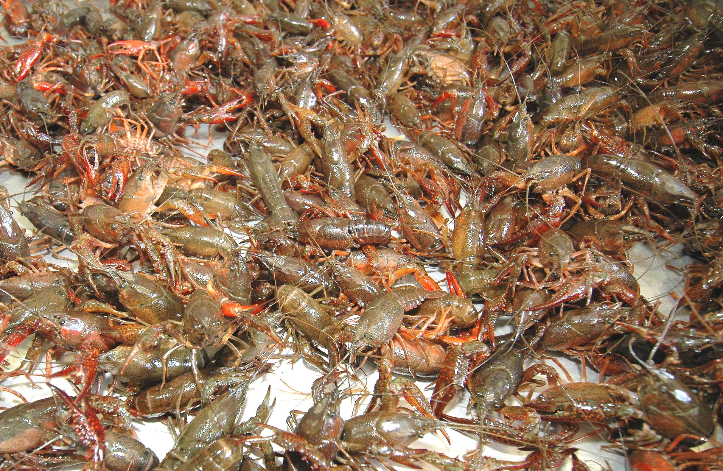 Floodwaters can affect water quality in crawfish ponds