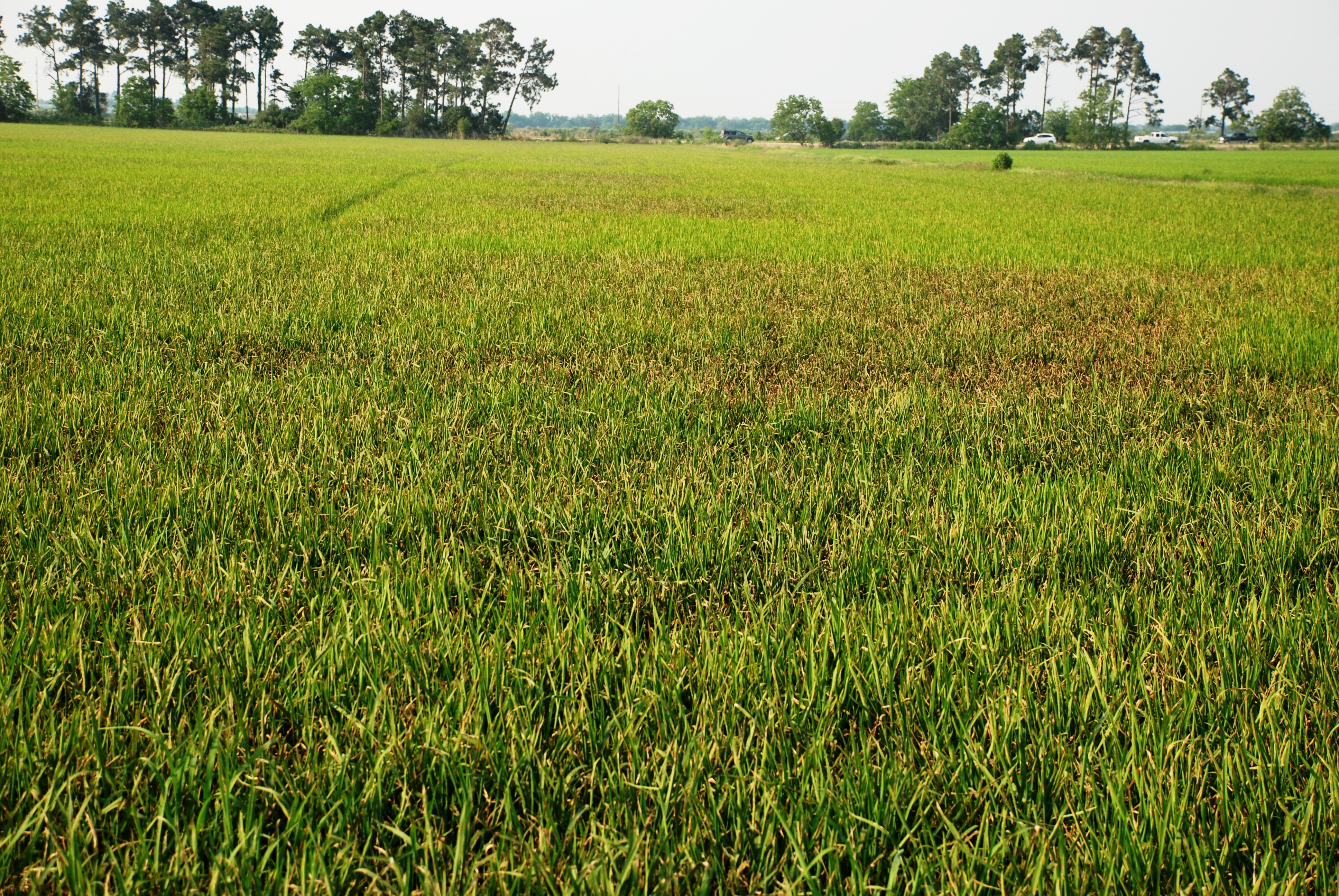 Rice Blast Disease Prevalent in 2012