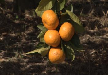 Diseases pests threaten citrus production