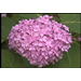Don't discard your hydrangeas