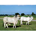 Improving Brahman Cattle for Meat Quality
