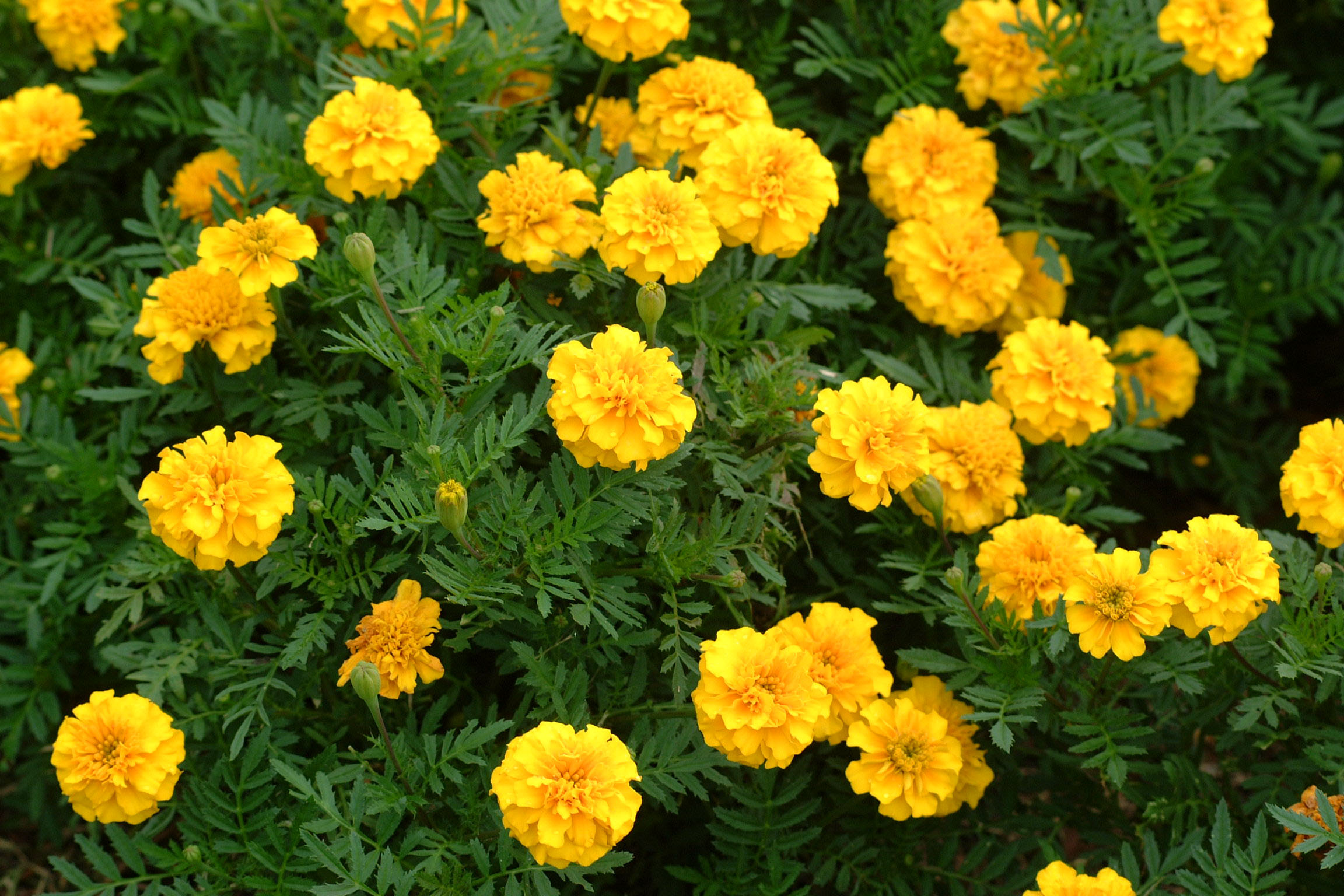 hotweather gardening freshen with new flowers pruning pest control, Natural flower