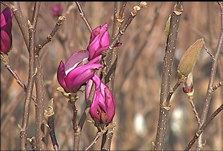 Japanese magnolia blooms through early February