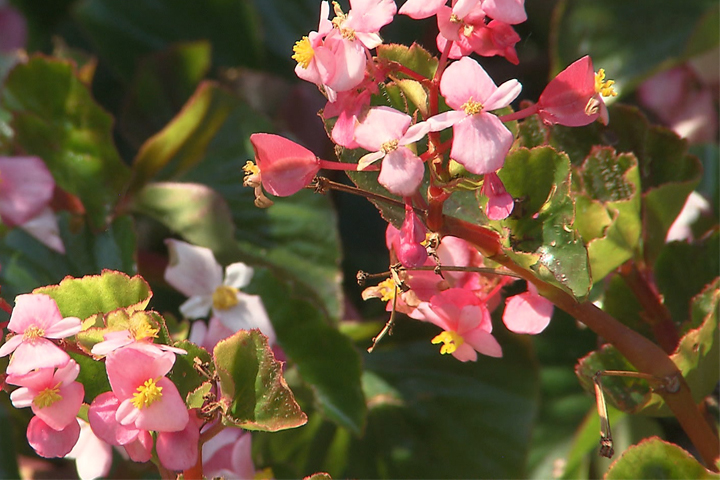 Louisiana Super Plant – BabyWing begonia