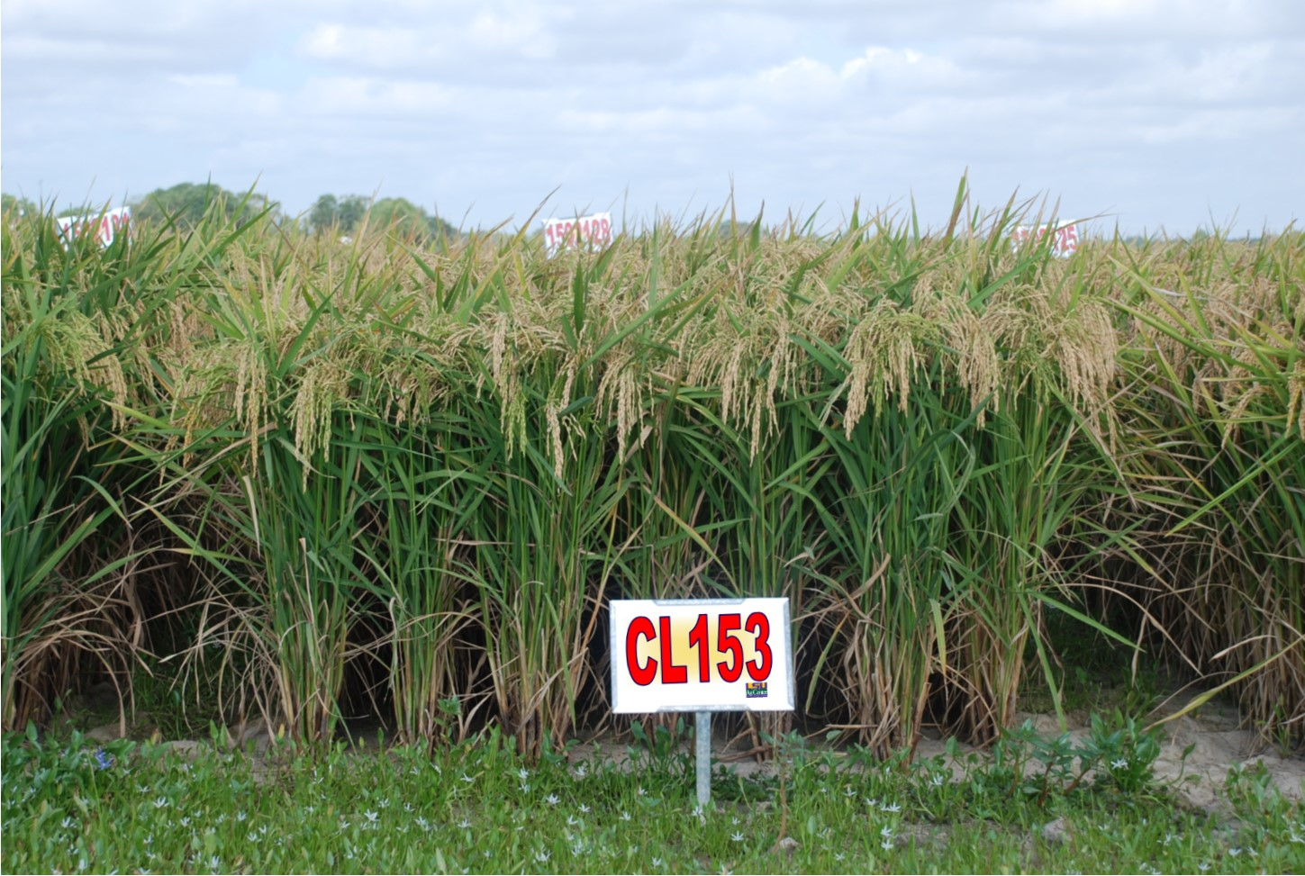 LSU AgCenter Releases Two New Rice Varieties in 2015