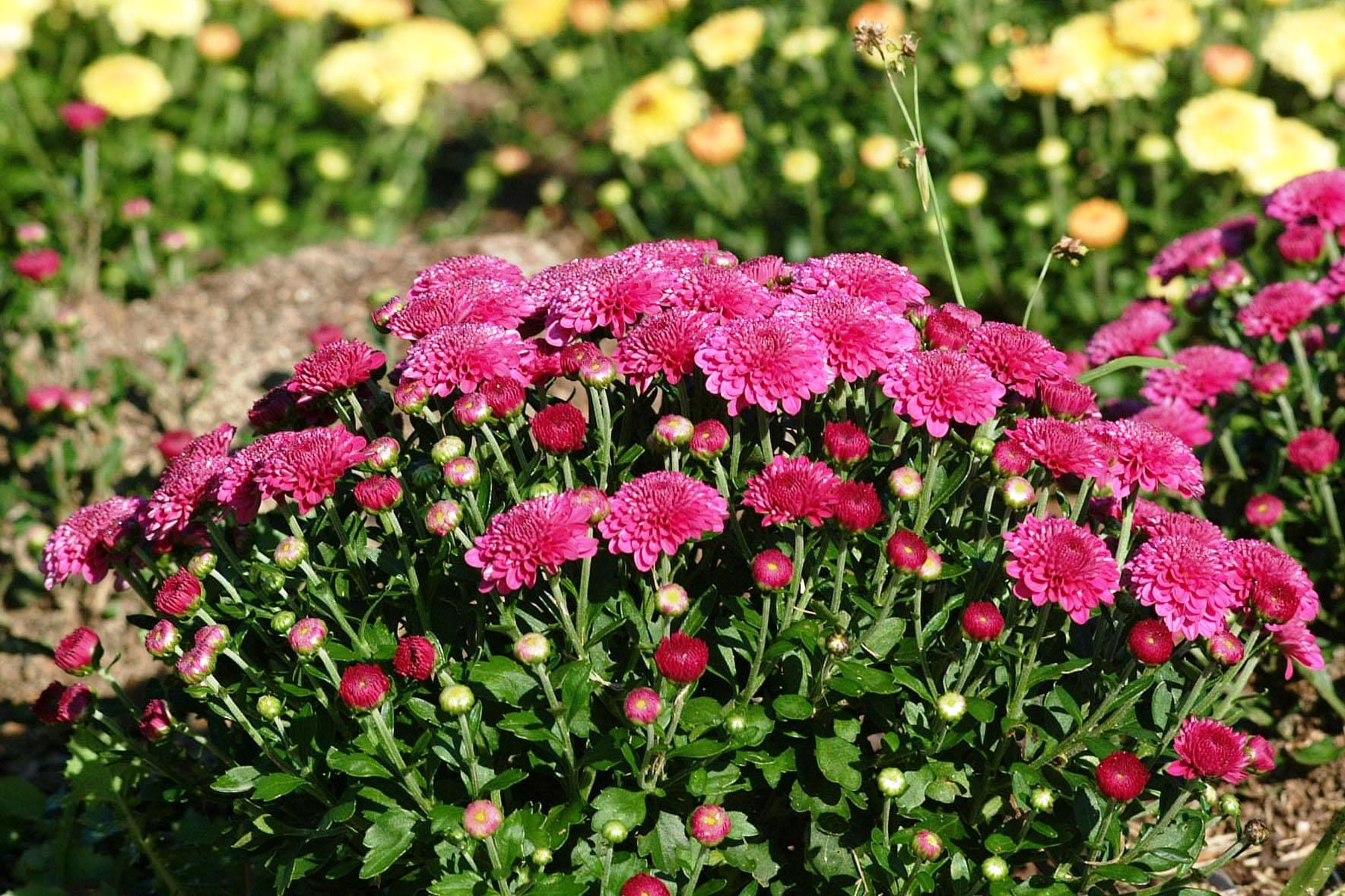 Garden mums ornamental plant of the week for september for Ornamental garden plants