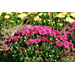 Garden Mums – Ornamental Plant of the Week for September 22, 2014