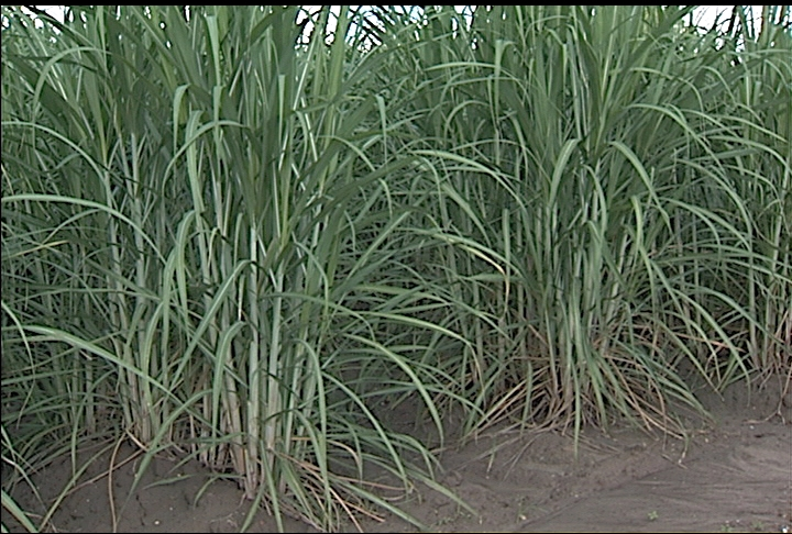 Sugarcane crop in good condition