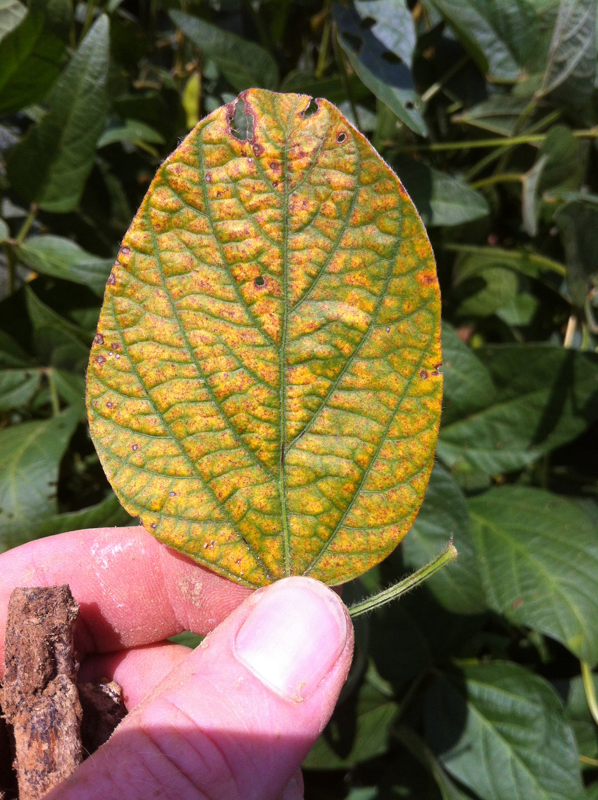 Black root rot suspected in Louisiana soybeans