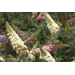 Pugster buddleia has beautiful flowers, compact size