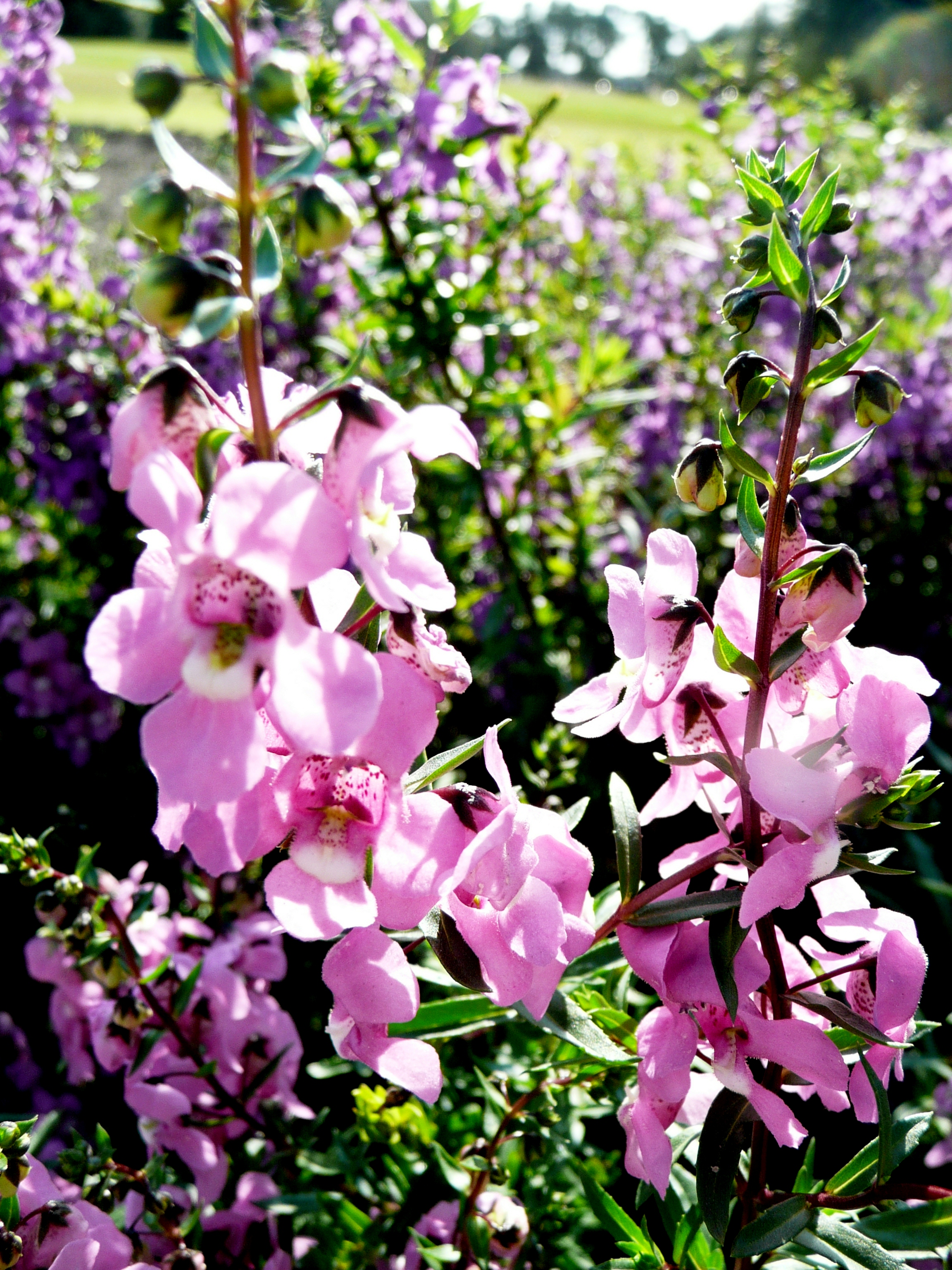 Angelonia – plant of the week, July 8, 2013
