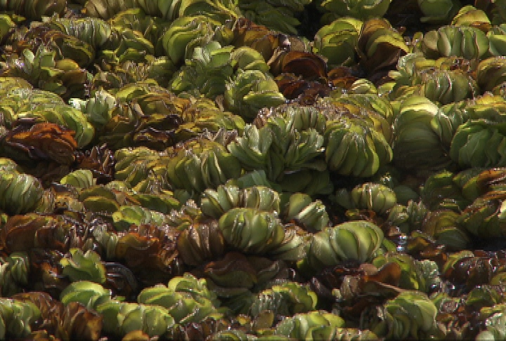 Weevils distributed to fight giant salvinia