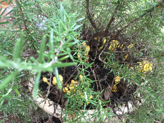 Picture of mushrooms that have grown in a rosemary plant's soil.