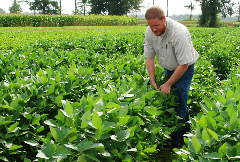 LSU AgCenter agronomist Josh Lofton looks over soybeans