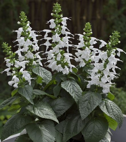 Summer Jewel White salvia