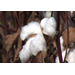 Cotton farmers disappointed by yield and prices