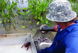 Improving Water Quality in Crawfish Aquaculture