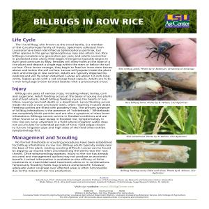 Billbugs in Row Rice