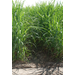 New sugarcane variety released for 2018 planting