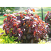 Copper Plant – Ornamental Plant of the Week for June 30, 2014